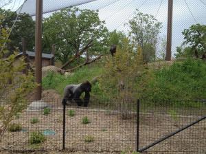 Como Zoo gorilla forest
