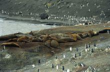 220px-antarctic_elephant_seal_colony_js_48
